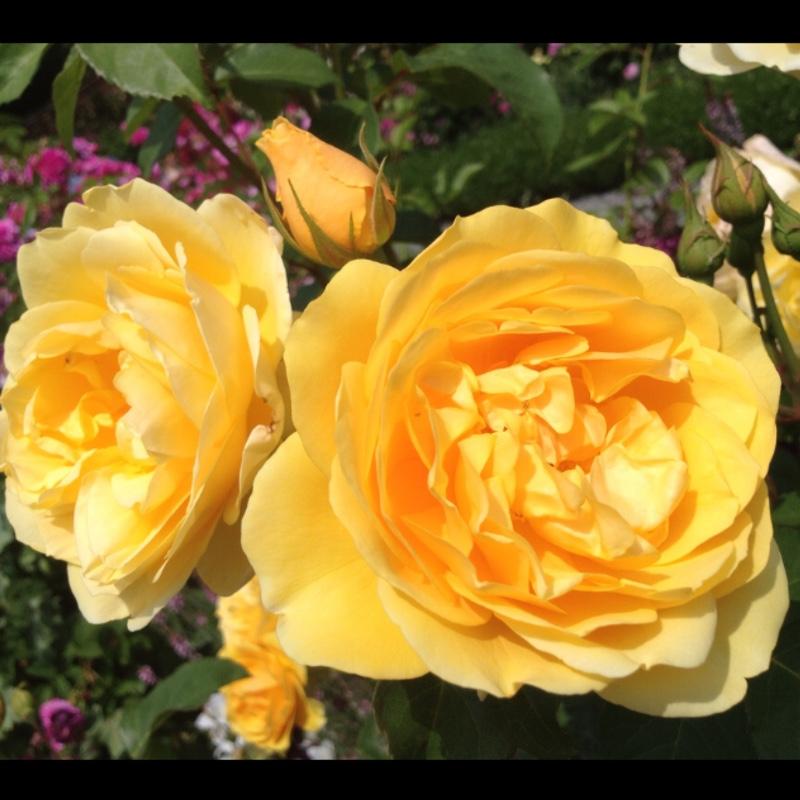 Rosa graham thomas ausmas rose graham thomas uploaded by plant image 113720 thecheapjerseys Images