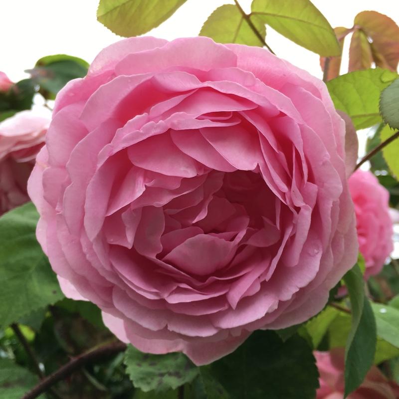 rosa 39 constance spry 39 39 austance 39 rose 39 constance spry. Black Bedroom Furniture Sets. Home Design Ideas