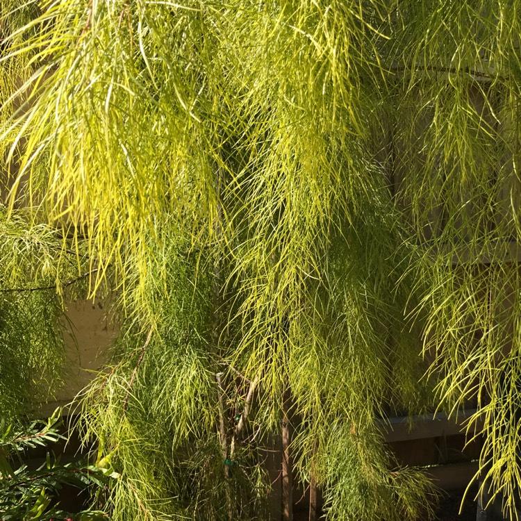 Acacia Cognata Fettuccine Acacia Cognata Fettuccine Uploaded