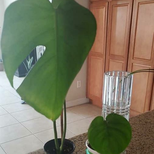Plant image Monstera dubia