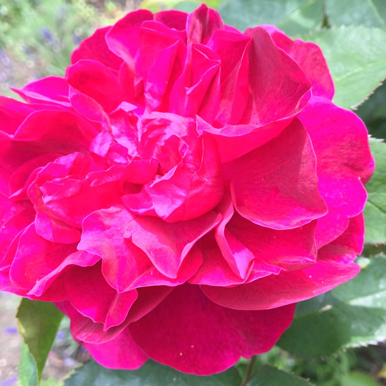 Plant image Rosa 'Ausdecorum' syn. Rosa 'Darcey Bussell'