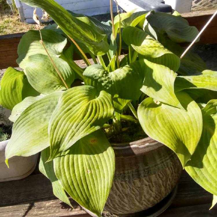 Plant image Hosta 'Frances Williams' syn. Hosta 'Eldorado', Hosta 'Yellow Edge'