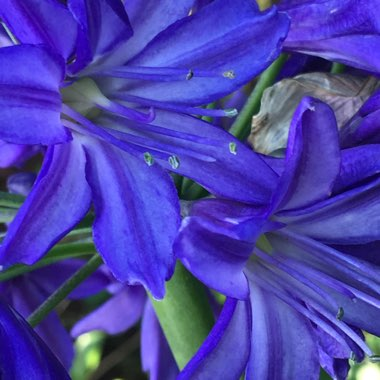 African Lily 'Northern Star'