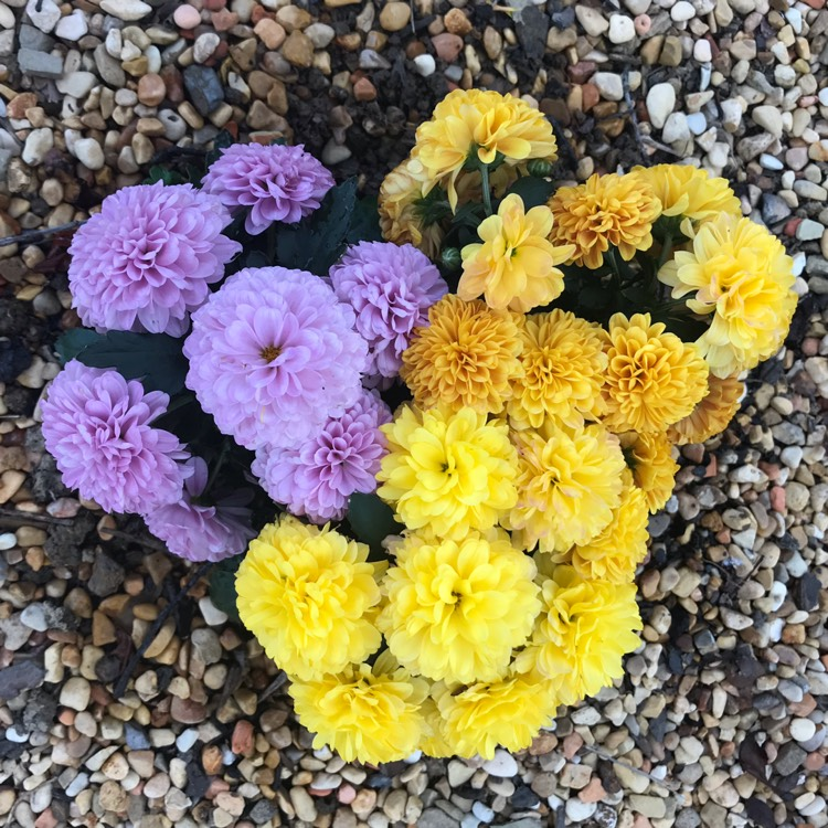 Plant image Chrysanthemum morifilium (unknown variety)