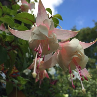 Fuchsia (Unknown Tender Variety)