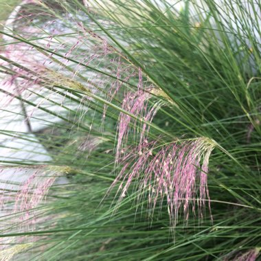 Ornamental Grass 'Kittentails'