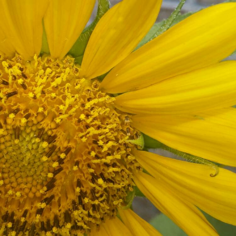 Plant image Helianthus annuus 'Russian Giant'