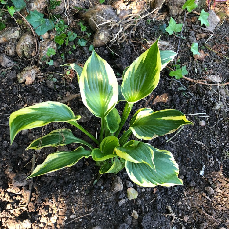 Hosta Twilight Plantain Lily Twilight Uploaded By At Montymcm