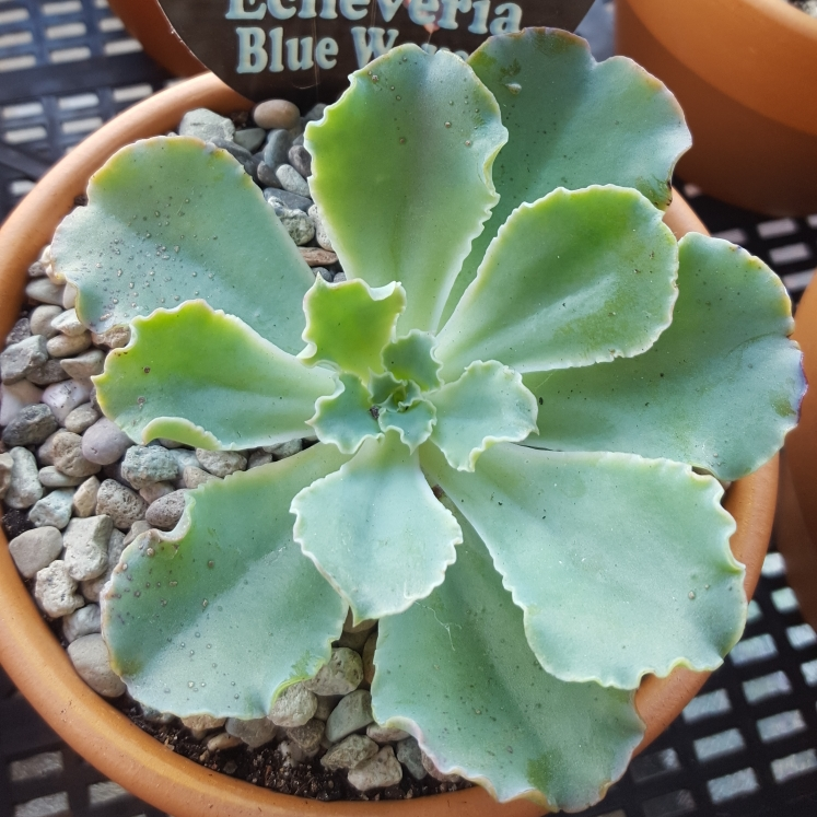 Plant image Echeveria Blue Waves