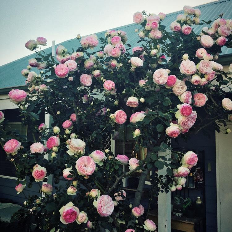 Rosa 39 pierre de ronsard 39 eden rose 39 85 39 rose 39 pierre de for Pierre de ronsard rosa
