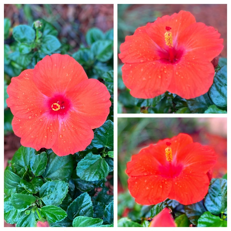 Plant image Hibiscus Rosa-sinensis 'Ruby Red'