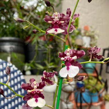 Dancing Lady Orchid 'Sweet Fragrance'