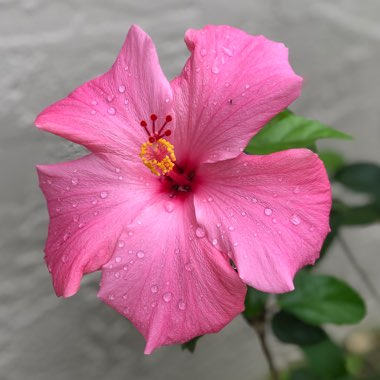 Hibiscus extreme 'Hot Pink'