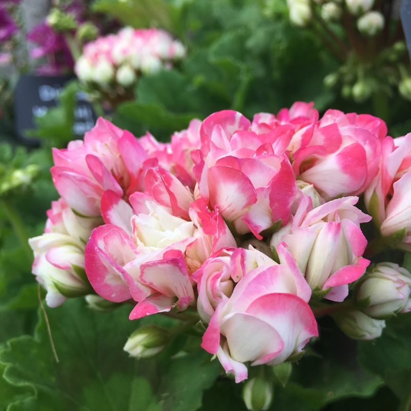 Plant image Pelargonium 'Dueapblo15' (Green Series) syn. Pelargonium 'Apple Blossom'