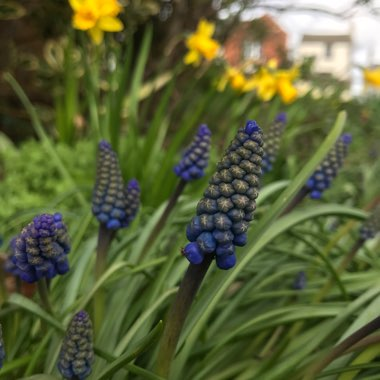 Armenium grape hyacinth