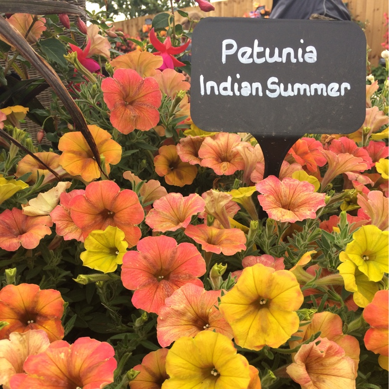 Plant image Petunia 'Cascadias Indian Summer' (Cascadias Series) syn. Petunia 'Indian Summer'