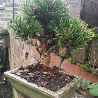 Dwarf mountain pine