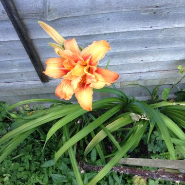 Day Lily 'Frans Hals'