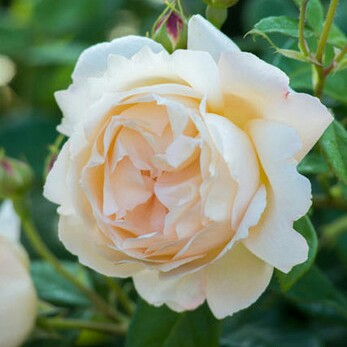 Plant image Rosa 'Wollerton Old Hall'