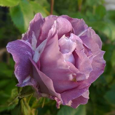 Rosa 'Blue For You' syn 'Pacific Dream'