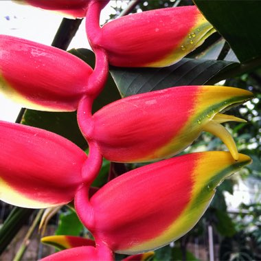 Heliconia Rostrata 'Inflorescence'