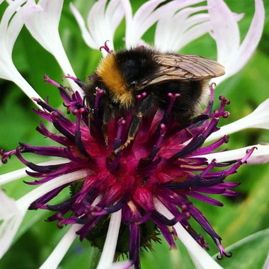Centaurea 'Amethyst on Ice'