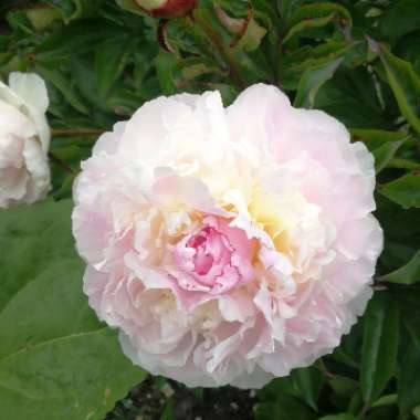 Peony 'Shirley Temple' (Herbaceous)