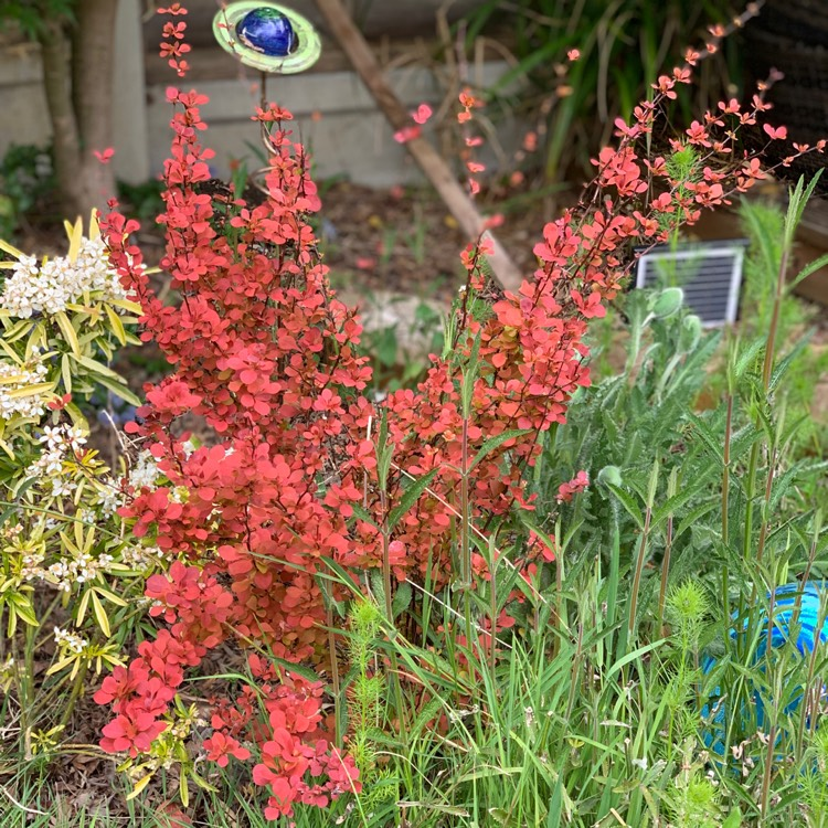 Picture of Live Upright Jap. Barberry aka Berberis thunb. 'Red Rocket' Plant Fit 5 Gallon Pot