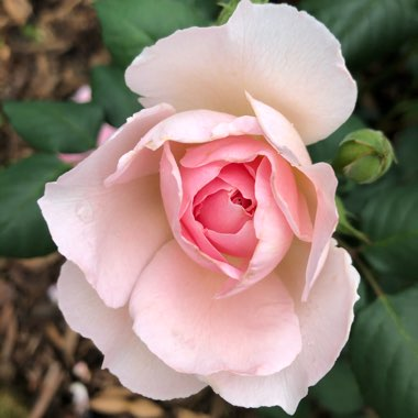 Rose 'The Ancient Mariner'