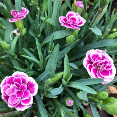Pink 'Pink Kisses'