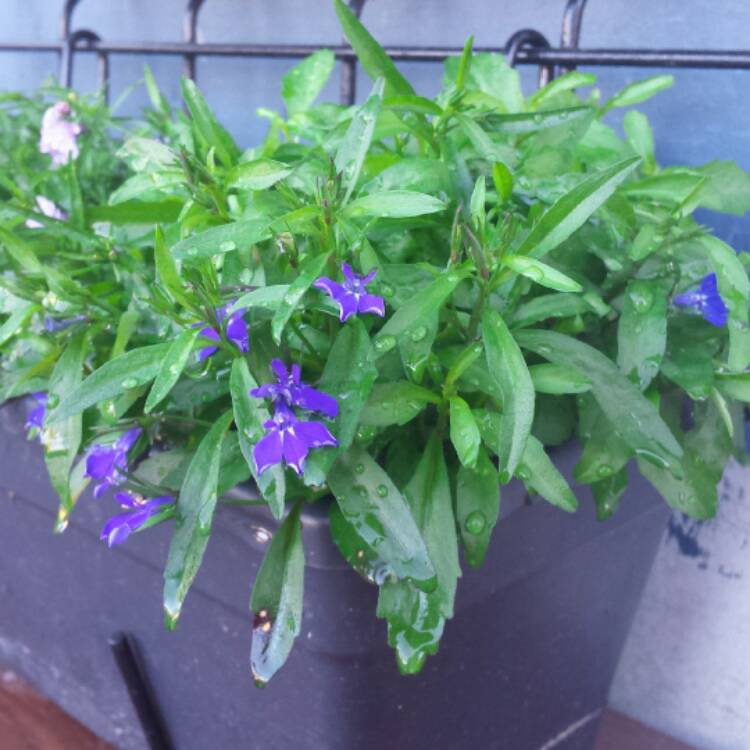 Lobelia Erinus Crystal Palace Lobelia Crystal Palace Uploaded