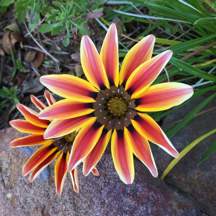 Plant image Gazania 'Tiger Stripes Mixed'