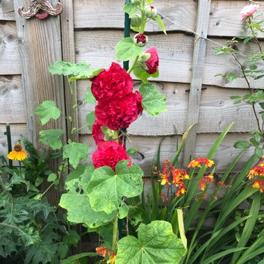 Hollyhock 'Chater's Double Red'