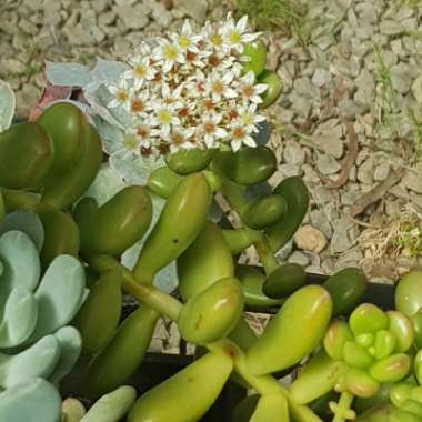 Sedum 'Giant Jelly Bean'