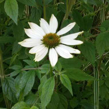 Coneflower 'White Swan'