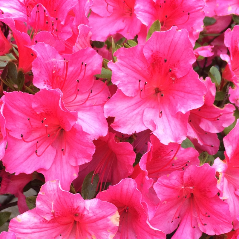 Azalea 'Autumn Carnation'