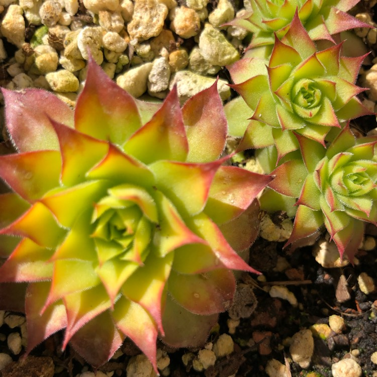 Plant image Sempervivum Gold Nugget