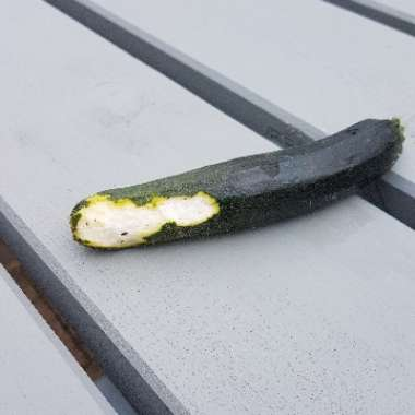 Courgette 'Black Beauty'