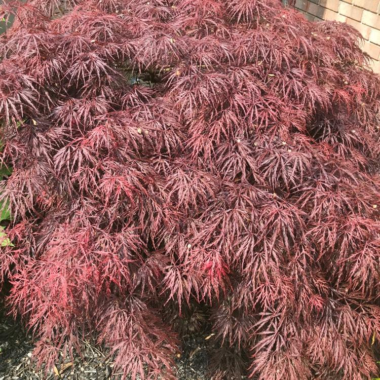 Acer Palmatum Dissectum Atropurpureum Cut Leaved Purple Japanese