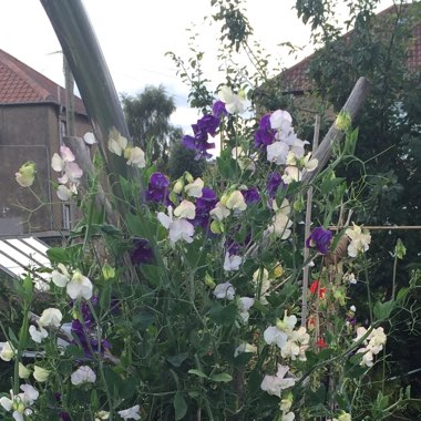 Lathyrus Odoratus 'Wuthering Heights'
