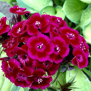 Dianthus barbatus 'Kaleidoscope Mix'
