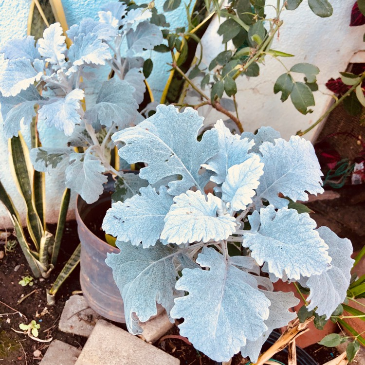 how to grow dusty miller