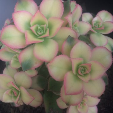Aeonium Haworthii Dreamcolour