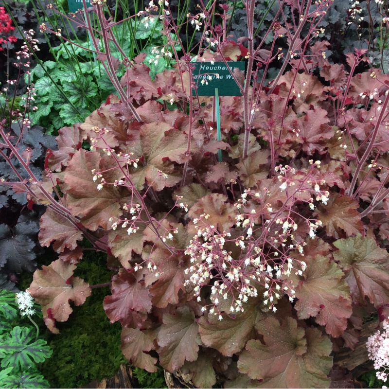 Plant image Heuchera 'Tangerine Wave' (Fox Series)