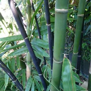 Bamboo Java Black