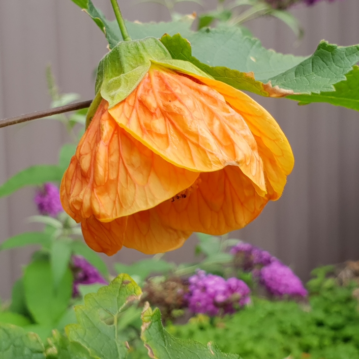 Plant image Abutilon 'Red Tiger'