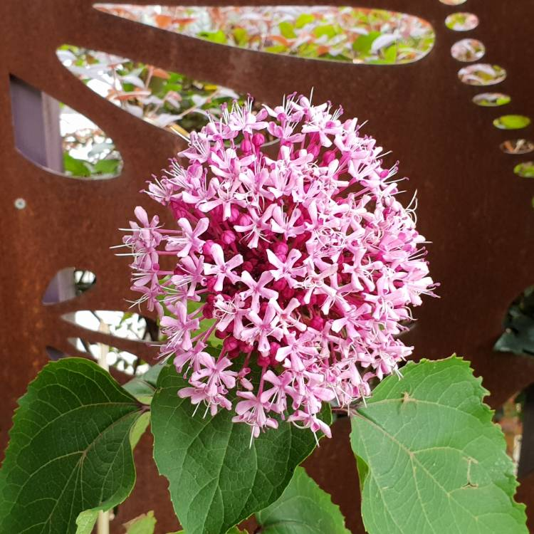 Plant image Clerodendrum bungei