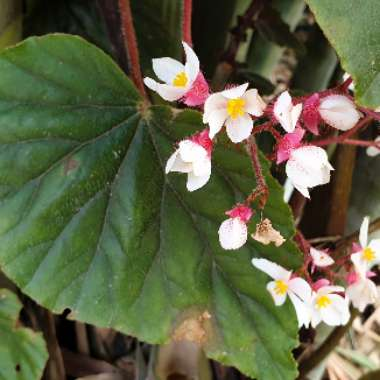 Elephant Ear Begonia