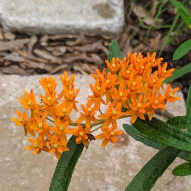Orange Milkweed