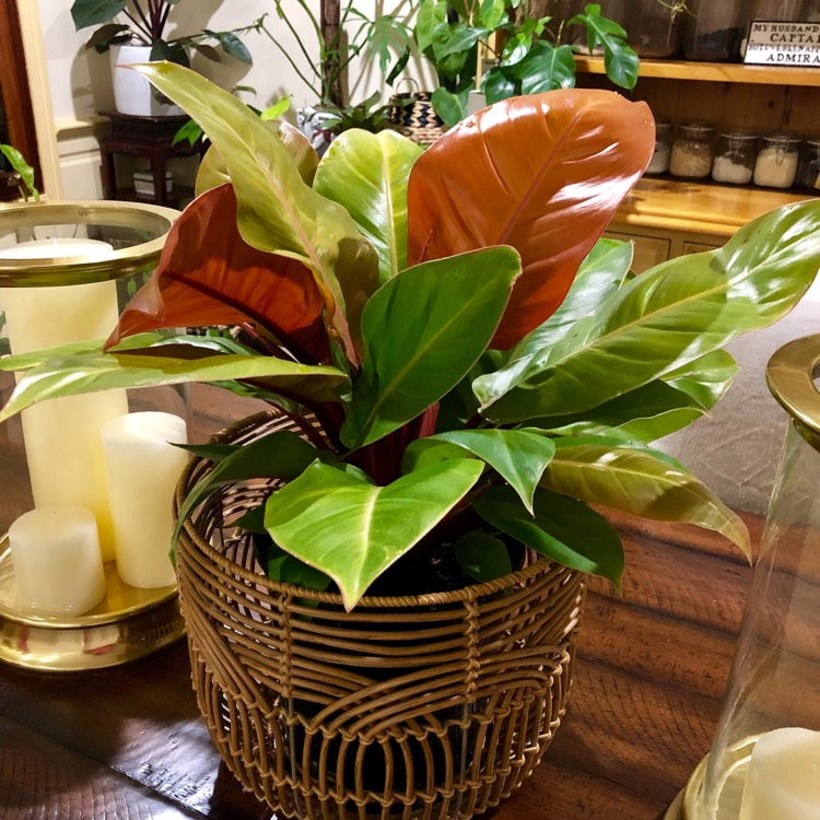 Plant image Philodendron 'Prince Of Orange'